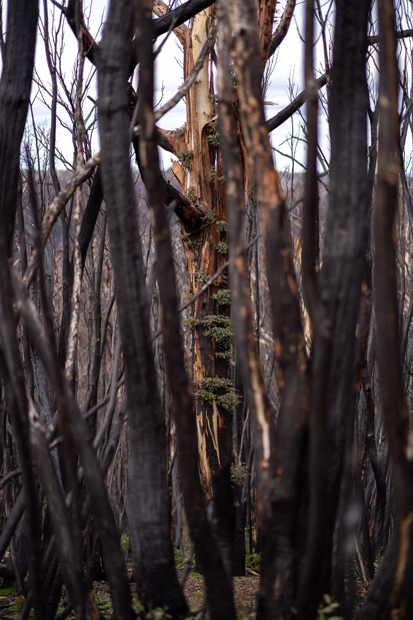 burnt trees in Kosciuszko National Park after the fires, taken during a bikepacking trip