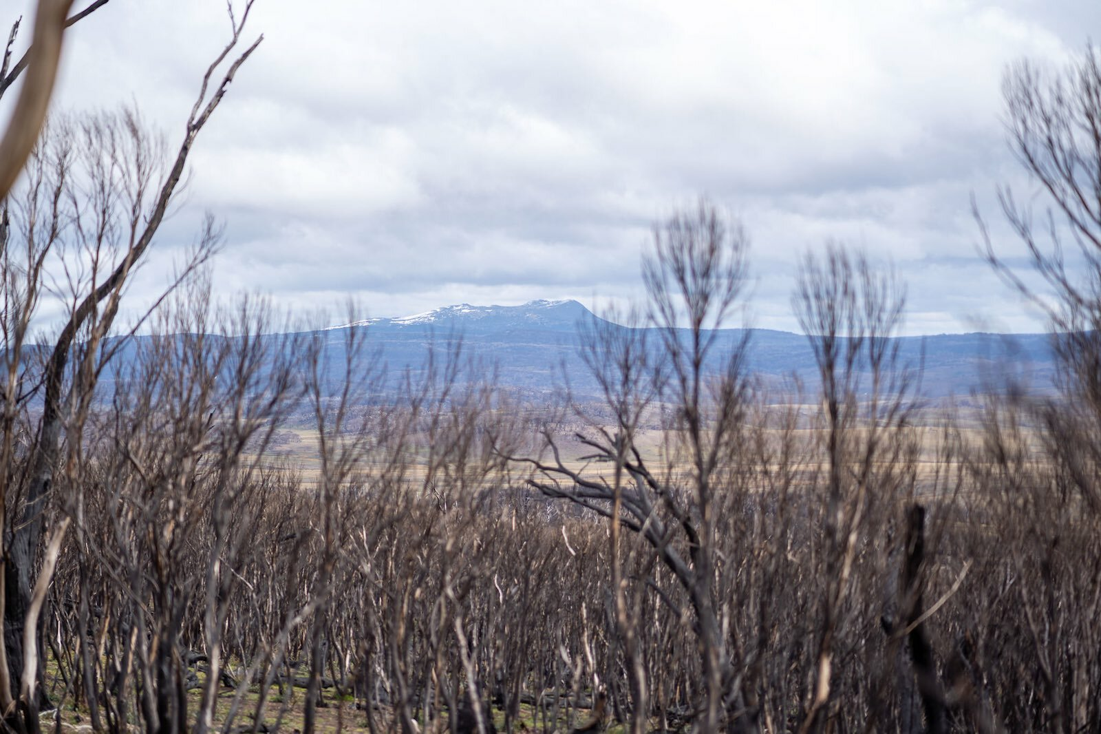 Mt Jagungal from a distance through burnt trees